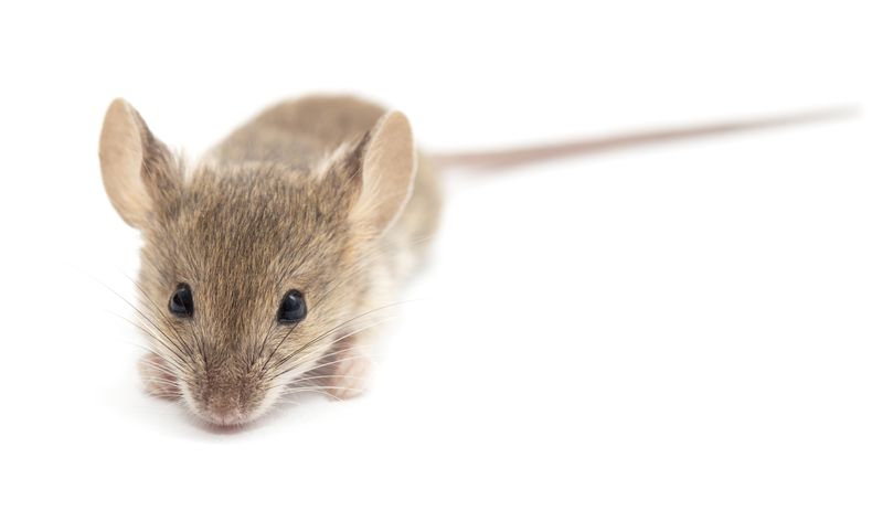 photo of a field mouse